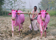 Zebra-cows, Nepal Royalty Free Stock Photos