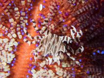 Zebra crab on a fire urchin Stock Image