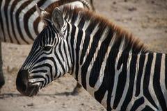 Zebra in crater Ngorongoro (Tanzania) Stock Photos