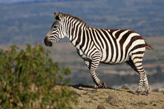 Zebra on crest Royalty Free Stock Images
