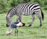 Zebra and Crested crane Stock Photo