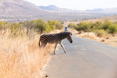 Zebra cross the road from South Africa, Pilanesberg National Par Stock Image