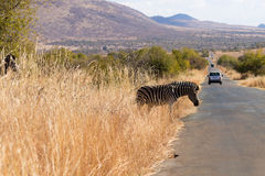 Zebra cross the road from South Africa, Pilanesberg National Par Royalty Free Stock Photo