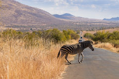 Zebra cross the road from South Africa, Pilanesberg National Par Royalty Free Stock Photography