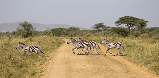 Zebra Crossing. Small group of zebra crossing the road in the serengeti. A very small part of the annual migration Royalty Free Stock Photos