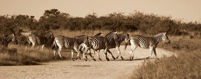 Zebra crossing Stock Images