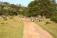 Zebra crossing. A herd of zebra's crossing over a dirt road on a game farm in Africa Stock Photos