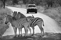 Zebra crossing. Zebra herd, Kruger Park, South Africa Stock Images