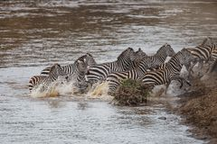 Zebra crossing Mara River in Kenya stock photography