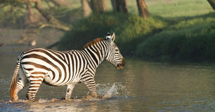 Zebra crossing a river Royalty Free Stock Photos