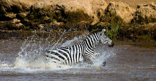 Zebra crossing a river. Kenya. Tanzania. National Park. Serengeti. Maasai Mara. Royalty Free Stock Photography