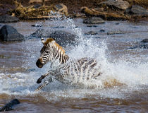Zebra crossing a river. Kenya. Tanzania. National Park. Serengeti. Maasai Mara. Stock Photography