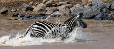 Zebra crossing a river. Kenya. Tanzania. National Park. Serengeti. Maasai Mara. Royalty Free Stock Images