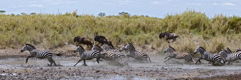 Zebra crossing a river in Serengeti National stock photography