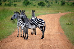 Zebra crossing in safari Stock Images
