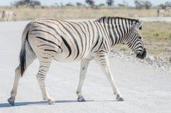 Zebra crossing white gray gravel road in Etosha National Park, Namibia, Southern Africa.  Stock Images