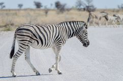 Zebra crossing white gray gravel road in Etosha National Park, Namibia, Southern Africa.  Royalty Free Stock Image