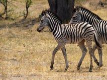 Zebra cub Royalty Free Stock Image