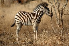 Zebra Cub Imagem de Stock Royalty Free