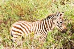 Zebra cub Stock Image