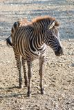 Zebra cub. In the zoo of Belgrade city Royalty Free Stock Photo