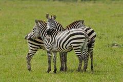 Zebra cuddling Royalty Free Stock Photography
