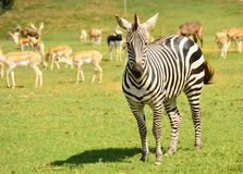 Zebra. Curious looking zebra is staring at me while taking this photograph at the zoo Royalty Free Stock Photos
