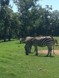 Zebra. Cute Gentry zoo animals Stock Photo