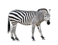Zebra cutout. Common plane zebra isolated on white background Royalty Free Stock Images