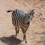 Zebra da dança Fotografia de Stock Royalty Free