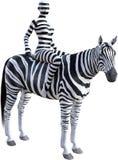 Zebra da equitação da mulher, listras, isoladas imagem de stock royalty free