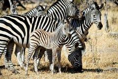 Zebra da mãe e do bebê imagens de stock