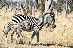 Zebra da mãe e do bebê foto de stock royalty free