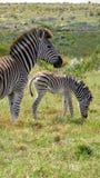 Zebra da mãe e do bebê na planície do africano Imagens de Stock