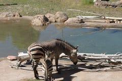 Zebra da mãe e do bebê pela lagoa de água Imagens de Stock