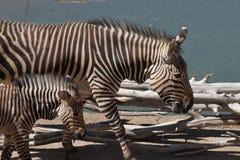 Zebra da mãe e do bebê pela lagoa de água Foto de Stock