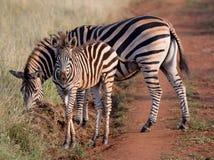 A zebra da mamã e do bebê anda pela estrada Fotografia de Stock