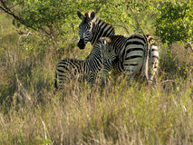 Zebra da matriz com jovens Fotos de Stock