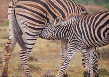 Zebra da matriz e do bebê foto de stock royalty free