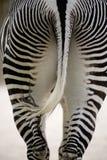 Zebra da parte traseira imagem de stock
