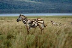 Zebra da solo Fotografia Stock