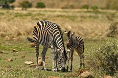Zebra dam and young zebra foal Stock Images