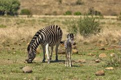 Zebra dam and young zebra foal Royalty Free Stock Photography
