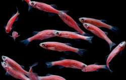 Zebra danio mutation,Zebra fish,Glofish in water aquarium stock image