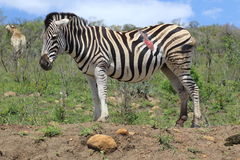Zebra danneggiata Fotografia Stock