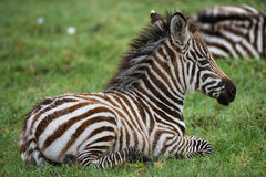 Zebra, das auf dem Gras in der Savanne liegt kenia tanzania Chiang Mai serengeti Maasai Mara Stockbilder