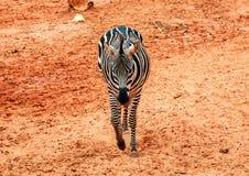 Zebra, das auf roten Sand im Zoo geht Lizenzfreie Stockbilder