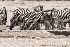 Zebra, das auf waterhole trinkt Stockbilder