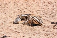 Zebra, das aus den Grund stillsteht an einem heißen sonnigen Tag liegt stockfotos