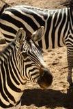 Zebra das concessões Imagens de Stock